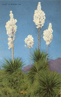 Yucca Post Card